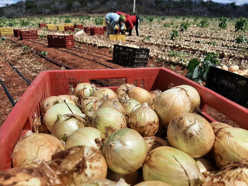 Prefeito de Cabaceiras visita plantação de cebolas em Comunidade Rural do município